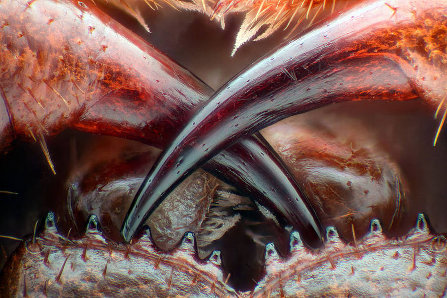 13th place / Title : Poison fangs of a centipede (Lithobius erythrocephalus) / Photographer : Walter Piorkowski