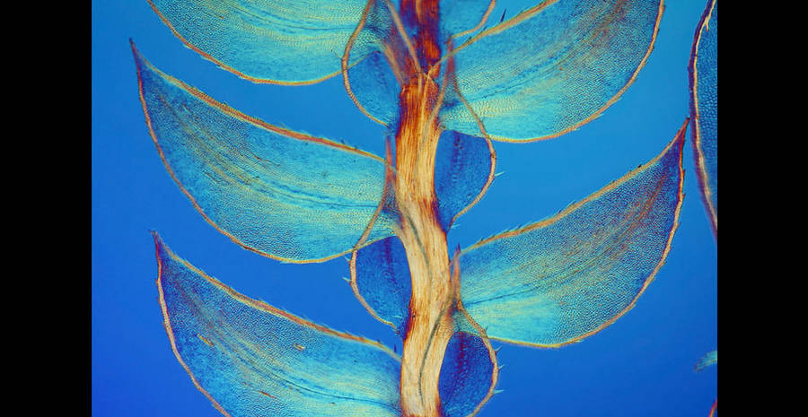 7th place / Title : Leaves of Selaginella / Photographer : David Maitland
